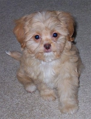 Front view - A soft looking, tan with white Poochin puppy is sitting on a carpet and it is looking up.