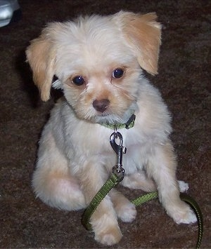 Front view - A furry tan with white Poochin puppy is sitting on a brown crapet looking forward. It has a green leash connected to its green collar that is wrapped around its front paws.