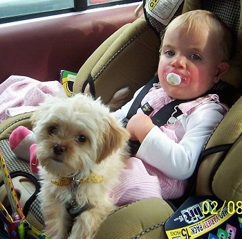 A baby is laying in a car seat in the back of a vehicle and a tan with white Poochin puppy is laying across her legs. The baby is sucking on a pink pacifier.