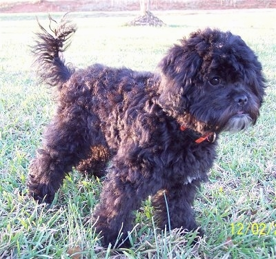 The right side of a wavy-coated, black Poochin puppy standing in grass facing the right.