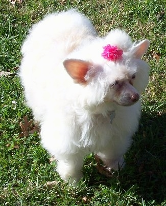 Precious the Chinese Crested Powder Puff is standing in grass with a pink ribbon in its hair