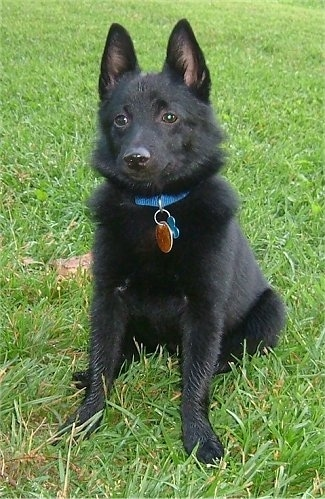 Front view - A small, perk eared, black Schipperke dog sitting in grass looking forward. The dog is wearing a blue collar.
