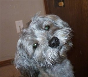 Close up head shot - A shaggy looking, grey and tan with black Schnau-Tzu dog sitting on a carpet looking forward with its head tilted to the left.