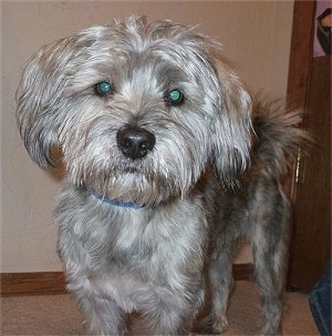 Close up front side view - A shaggy looking grey and tan with black Schnau-Tzu dog is standing on a carpet and it is looking forward. The dog has longer hair on its head and tail and its body is shaved short.