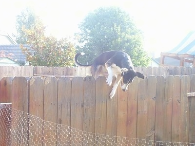 Wingnut the Smooth Fox Terrier mix is jumping over a tall wooden fence