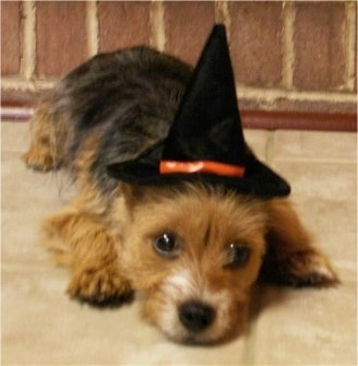 Close up front view - A black and tan with white Torkie is wearing a witch hat and it is laying down across a tiled surface.