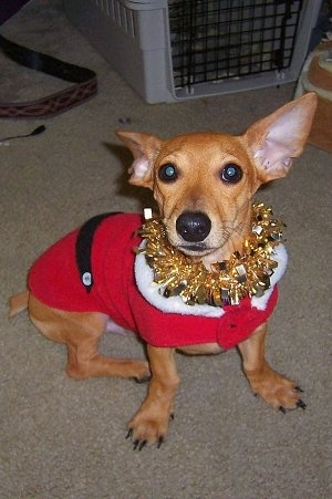 A tan Toy Rat Doxie is sitting on a carpeted floor wearing a Santas Jacket and a golden lei looking up. It has very large perk ears. One ear is pinned back. Its eyes are wide, dark and round. Its legs bow outward.