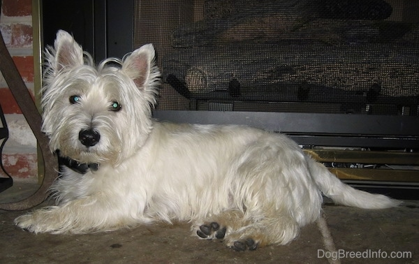 The left side of a small white West Highland White Terrier dog that is laying across a concrete surface. It is looking forward and there is a fireplace behind it. It has fringe hair coming off of its head and a big black nose.