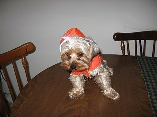 Joey the tan Yorkie is wearing a red hoodine and sitting on top of a table