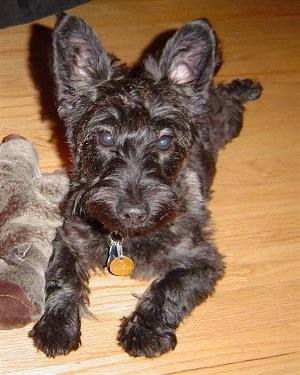 Front view - A black Scoodle is laying across a hardwood floor and to the left of it is a plush doll. It is looking forward. The dog has rounded perk ears.
