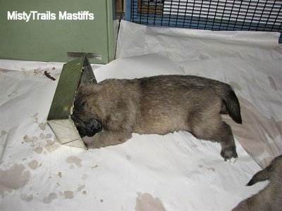 Puppy laying down with its head in the mini food trough