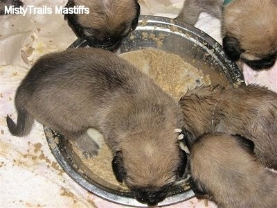 Close Up - Four Puppies eating out of the dog bowl and one puppy inside the bowl making a mess