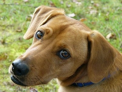 Close Up head shot - A red Beagador is sitting in grass and looking to the left. It has a long snout and brown eyes.