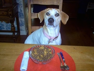 A white with tan Beagle mix is wearing a pink collar, sitting in a wooden chair and in front of it is a food bowl on top of a red place mat with a white napkin and fork and a spoon on a table.