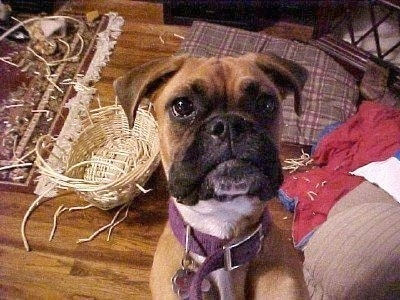 Roxie the Boxer is looking up at the camera holder and there is a destroyed wicker basket behind her.