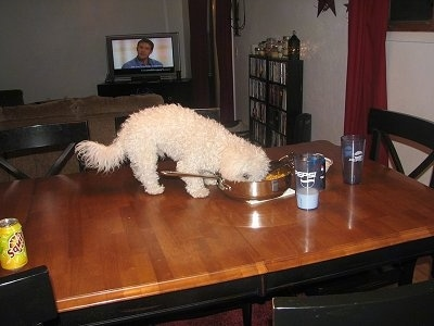 Captain Jack the Bichon Frise is eating food out of a pan on the middle of a dining room table with a glass of milk next to him
