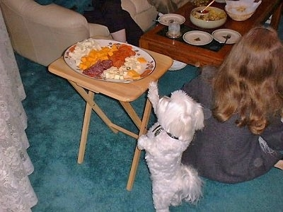 Elizabeth the Bichon is standing on its hind legs trying to reach a cheese plate on top of a tray table