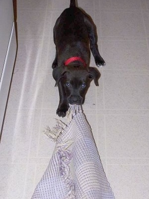 Close Up - Scout the Boxador puppy is playing tug-of-war with a mat in her mouth and is looking up at the camera holder