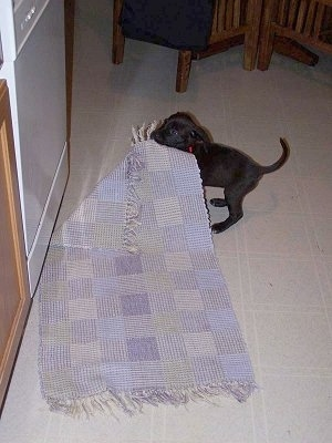Scout the Boxador puppy is pulling the rug across a tiled floor