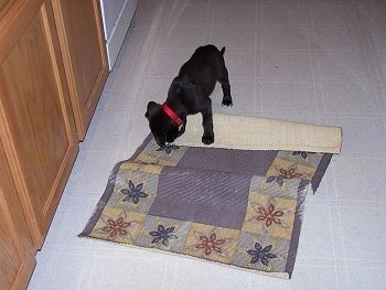 Scout the Boxador puppy is standing on a throw rug and chewing the corner of it
