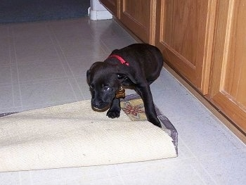 Scout the Boxador Puppy is sitting on a tiled floor with its head down as he stops chewing the rug