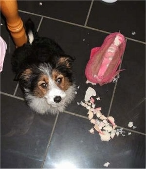 Corgi x Border Collie Hybrid Puppy is sitting on a tiled floor and looking up at the camera holder. There is a chewed up pink thing next to it