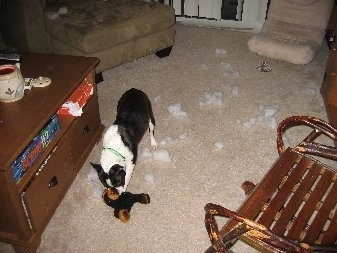 Casey the Boston Terrier is chewing a plush toy leaving stuffing all over the room.