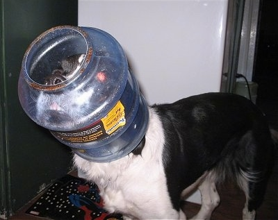 Nikki the Springer Spaniel mix with a dog food container stuck on his head and looking up