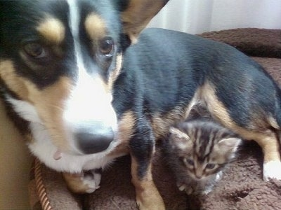 Close Up - Heidi the Cardigan Welsh Corgi is laying on a dog bed with a tiger kitten in front of it