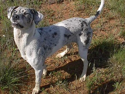 Blue the Catahoula Leopard Dog is standing outside in a dirt patch and looking up