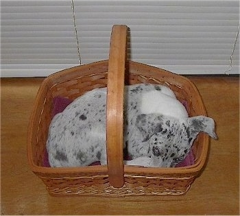 Blue the Catahoula Leopard Dog as a Puppy is laying in a wicker basket in front of a window that has white blindes