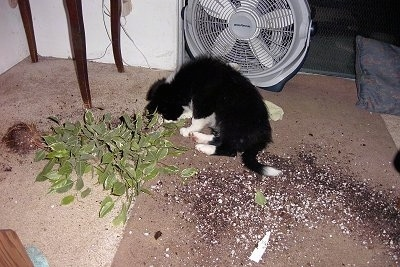 Katie the Border Collie sitting in a living room in the dirt from a knocked over Plant in front of a fan