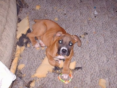 A Boxer puppy is laying in front of a couch and looking up at the camera holder with a dog toy under its paw It is surrounded by foam chewed pieces