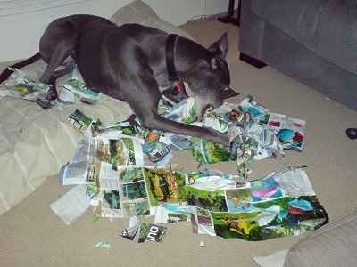 Razor the Greyhound is actively tearing apart a magazine while laying on a pillow dog bed