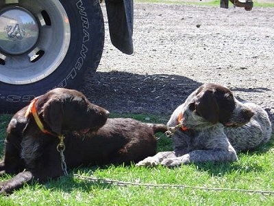 Duke and Bruiser the Cesky Fousek are laying in grass and looking to the right. There is a big tire behind them