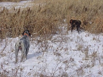 Baron od Kostilku and Bruiser The Cesky Fouseks are walking into tall brown grass, across a snowy field