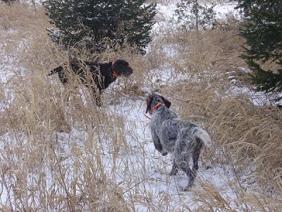 Two Cesky Fousek dogs are in a field of tall brown grass with snow on the ground