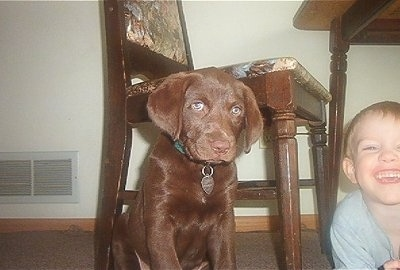 Princess Baby Rascal the Chesador as a puppy sitting in front of a wooden table and chair and next to a smiling child