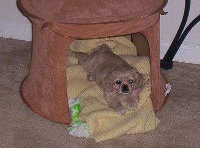 A Cockinese puppy is laying on a yellow blanket in a round, tan indoor dog house. There is a green and white rope toy next to her