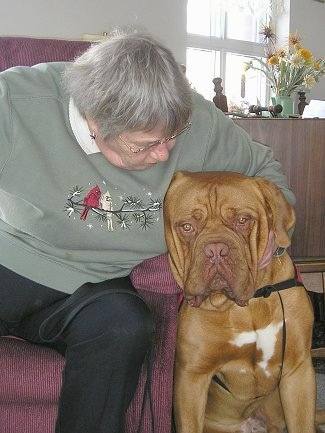 Tars Tarkas the Dogue De Bordeaux is sitting next to a lady in a red chair who is petting his face