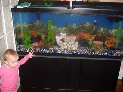 A child in a pink shirt is standing next to a 55-gallon fish tank.