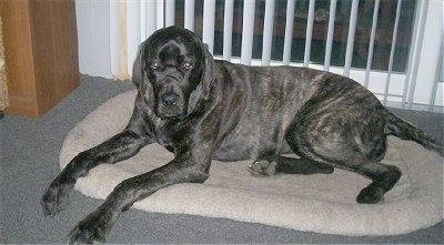 Giant Maso Mastiff Dog Breed Information and Pictures