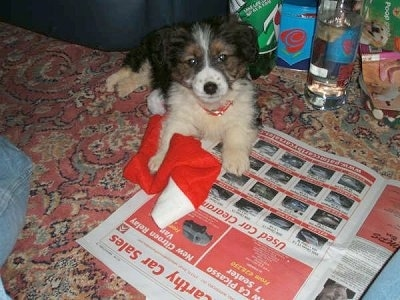A black with white and tan Corgi/Border Collie mix puppy is laying on a red oriental rug in front of it is a newspaper and a Santa hat. There is a 7up bottle and Vodka bottle behind it.