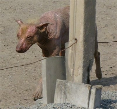 A Hairless Khala dog is walking across sand. It has yellow hair on its head and is bald everywhere else.