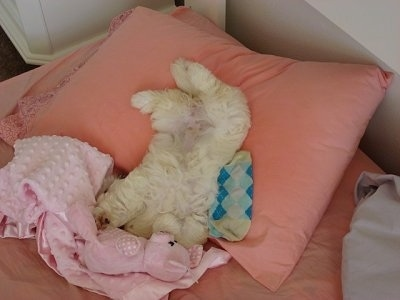 A white Hava-Apso puppy is sleeping on its back belly-up on top of a peach collared pillow with its head under a pink blanket