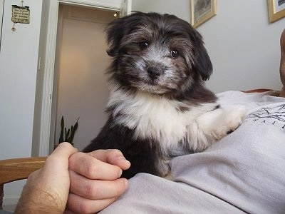A black with white Havanese puppy is laying on the chest of a man who is wearing a gray shirt. Its head is tilted to the right