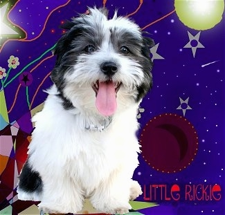 A composited image of A black and white Havanese puppy has been placed on a funky background with a lot of lines and dots and circles. The words - LITTLE RICKIE - are overlayed. The Havanese puppys mouth is open and tongue is out
