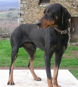 A black and tan Greek Hound is standing on a concrete slab and looking to the left with a stone house behind it.