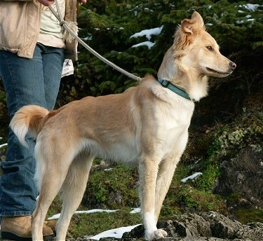 A tan Himalayan Sheepdog mix is standing with its front paws on a rock and there is a person behind it