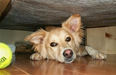 A tan Himalayan Sheepdog mix is laying under a human's bed on a hardwood floor and there is a green tennis ball next to it
